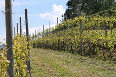 """Alvarinho pé franco ... """"pequenos"""" detalhes no Soalheiro ...  Ungrafted Alvarinho vineyards ... """"some"""" detail's of Soalheiro ... the pure terroir #Alvarinho #Albarino"""