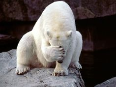 animal-factbook: Here we have a polar bear who is suffering from second-hand embarrassment. This usually happens when they see their friend miss an easy jump from iceberg to iceberg, or when their friend fails at asking another polar bear out on a date. Mon Zoo, Funny Animals, Cute Animals, Animal Funnies, Animal Memes, Funny Bears, Bear Wallpaper, Wallpaper App, Animal Wallpaper