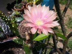 Grafted cactus flowering