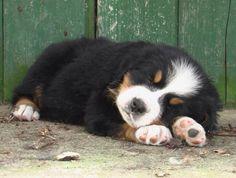 Sleepy Berber puppy.