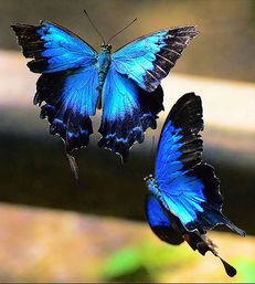Great dark pretty blue butterflies.