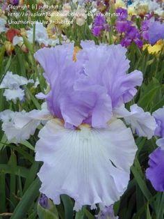 Full size picture of Tall Bearded Iris 'Wishful Thinking' (<i>Iris</i>) Hydrangea Macrophylla, Iris Garden, Garden Plants, Most Beautiful Flowers, Pretty Flowers, Endless Summer Hydrangea, Bearded Iris, Iris Flowers, Gardens
