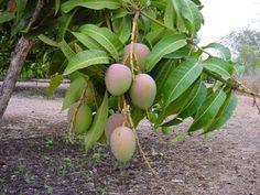 El Mango Africano tiene la capacidad de inhibir la producción de grasa mediante su acción sobre ciertos genes y enzimas que regulan el metabolismo. Reduce niveles de glucosa y LDL (colesterol malo).