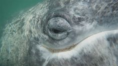 Into the eyes of a Gray Whale Want to know more about these amazing beings? Visit our website Whale Species, Whale Watching Tours, Gray Whale, Cabo San Lucas, Whales, Mexico, Website, Eyes, Amazing