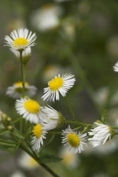 What are the Benefits of Chamomile?