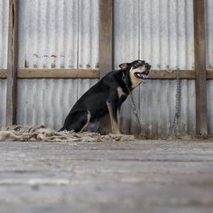 Don't Allow Dogs to Be Left Chained in Extreme Heat