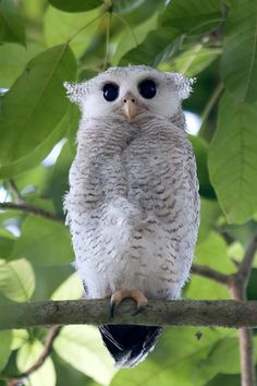 """Barr Eagle Owl Chick"" by Allan Seah"