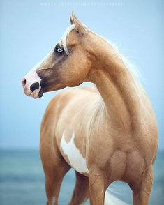 Paint Horse Hengst Be Aech Versa Jack an der Ostsee Wiebke Haas - Tiere - Pferde Cute Horses, Pretty Horses, Horse Love, Beautiful Creatures, Animals Beautiful, Cute Animals, Horse Markings, American Paint Horse, Most Beautiful Horses