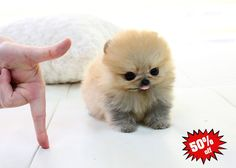teacup pomeranian for sale in nj 1000 images about pomeranian on pinterest pomeranians 774