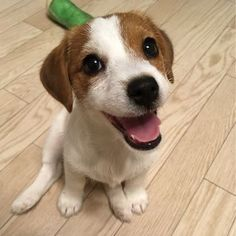 Jack Terrier, Jack Russell Terrier, White Terrier, Cute Puppies, Dogs And Puppies, Cute Dogs, Doggies, Chihuahua Dogs, Big Dogs