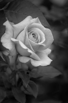 Rosebud in Black and White by Teresa Wilson Black And Grey Rose Tattoo, Black And White Roses, Rose Reference, Rose Drawing Tattoo, Rose Flower Tattoos, Beautiful Rose Flowers, Floral Photography, Flower Photos, Rose Buds