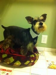 JR is an adoptable Schnauzer Dog in Richmond, VA. Meet JR. This stuff muffin is a 2 year old purebred mini schnauzer guy who is looking for a forever family of his own. JR is currently heartworm posit...