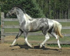 Pintaloosa Horse. The white on his rump looks like silver and the gray parts like pewter.  What a looker.