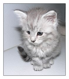 Maine Coon kitten IX by LanimilbuSx.deviantart.com on @deviantART