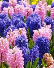 Hyacinth San Diego Mix
