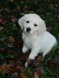 AKC English Cream Golden Retriever, Macy Grace