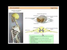 ▶ Het zenuwstelsel samengevat - deel 2 - YouTube