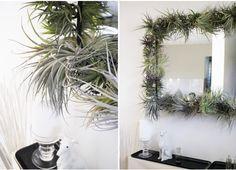 Air plants, alternative gardening, how to arrange air plants, air plants display