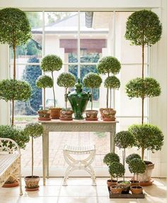 Sharing my FAVORITE photo from our article in the Feb issue of Martha Stewart Living These are my myrtle topiaries. Anyone else addicted to topiaries? I've been growing mine for almost 20 years. Thanks for the beautiful photo Story produced by Container Plants, Container Gardening, Indoor Gardening, Beautiful Gardens, Beautiful Homes, House Beautiful, Topiary Garden, Topiaries, Topiary Plants