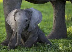 daww a wittle baby elephant.