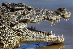 CROCODILE........