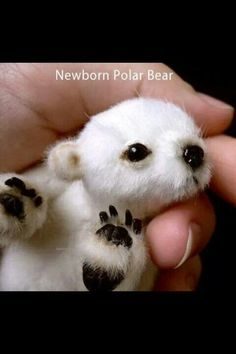 Aww! Newborn polar bear. I want one. :)
