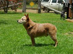 Австралийская короткохвостая пастушья собака (Australian Stumpy Tail Cattle Dog) - описание породы собак - рыжий окрас