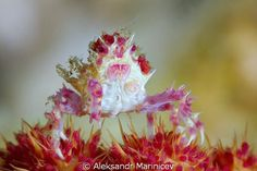 Candy crab by Aleksandr Marinicev