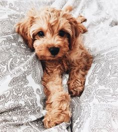 Goldendoodles, Cockapoo Puppies, Labradoodles, Poochon Puppies, Cavoodle Dog, Fluffy Puppies, Cavapoo Rescue, Puppys, Cute Puppies