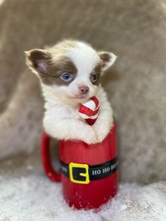 Teacup Chihuahua, Teacup Puppies, Chihuahua Puppies, Chihuahuas, Luanna, Christmas Puppy, Cute Photos, Christmas Photos, Candy Cane