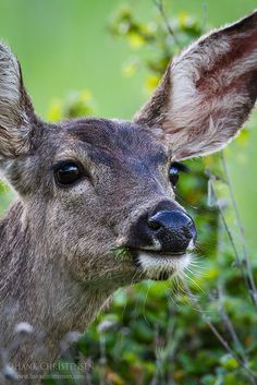 Whitetail Deer by Hank Christensen on Flickr