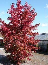 Liquidambar styraciflua 'Worplesdon' / Amberbaum 'Worplesdon' - ein weiterer Amberbaum, der mit seinem leuchtend roten Herbstkleid begeistert