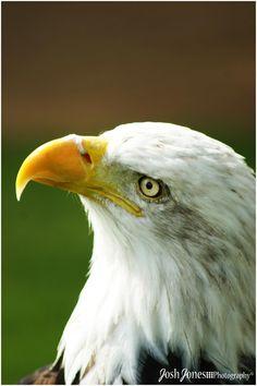 Bald Eagle up close at Warwick Castle.