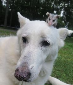 This Orphaned Baby Opossum Has A New Best Friend, And It's The Cutest Thing In The World.