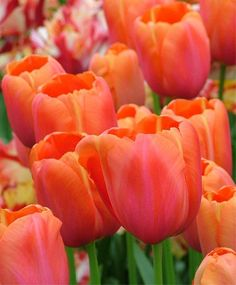 TULIP AVIGNON 3 / 9 This mesmerizing, award-winning Scheepers Hybrid is brilliant spinel-red with fire engine-red edges, a tomato-red interior and a sunny yellow base. No one photo can ever do it justice. Bulb size: 12 cm/up. Beautiful Bouquet Of Flowers, Tulips Flowers, Bulb Flowers, Pretty Flowers, Daffodils, Planting Flowers, Flowering Plants, Pansies, Agaves