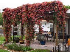 Les 19 meilleures plantes grimpantes pour pergolas ou tonnelles