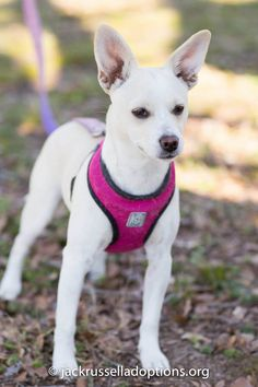 Georgia Jack Russell Rescue, Adoption and Sanctuary | Abby #cutest #puppy #jackrussell #mix