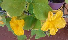 Dall'orto sul balcone:fiori di zucca!!
