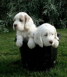 Clumber Spaniel Puppies: Clumber Spaniel Clumber Puppies For Sale Breed Clumber Spaniel Puppy, Cocker Spaniel Puppies, Spaniel Puppies For Sale, Dogs And Puppies, Doggies, Spaniel Breeds, Dog Breeds, Cute Cats And Dogs, Wild Dogs