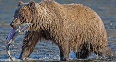 Grizzly bear | Yukon, Canada