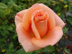 APPS Rose - Ludwigs Roses | Named when the Auckland Park Preparatory School celebrated its 75th anniversary in 1975. This rose has slender pointed buds of a deep apricot copper. It will easily grow to shoulder height.