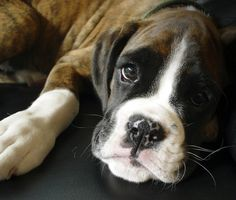 Face Cute Miniature Boxer Puppies