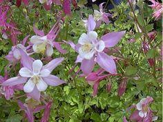 Weiß-Rosa Akelei