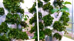 Fastest Growing & Most Prolific System Ever. Thermal-Wrap/Light Refraction Technology 45-90 Plants In 4 Sq Ft.