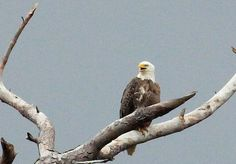 Photos of a pair of bald eagles taking  turns feeding their young