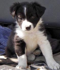 Border Collie puppies for sale - Pets For Sale in the UK Boarder Collie Puppy, Perros Border Collie, Collie Dog, Collie Puppies For Sale, Cute Puppies, Cute Dogs, Dogs And Puppies, Beagle Puppies, Doggies