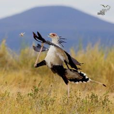 """Mi piace"": 7,963, commenti: 109 - @your_best_birds (@your_best_birds) su Instagram: ""CONGRATULATIONS ✨Birder of the day ➡️ @anterotopp ✨Bird of the Day ➡️ Secretary Bird ✨Location :…"""
