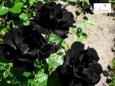 LAS MEJORES FLORES A DOMICILIO. ¿Conoce las rosas de Halfeti? Estas son las únicas rosas naturales de color negro y crecen en la isla Halfeti al sur de Turquía, en donde el PH del agua da a las flores un color rojo carmesí, que durante el invierno se torna de color negro. En Lilium, le hablamos del curioso mundo de las flores y le invitamos a conocer nuestros arreglos florales ingresando a nuestra página de internet www.lilium.mx