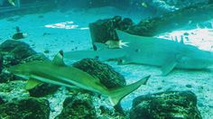 I'm really scared of sharks but I like these two. #sharks #reef #greatbarrierreef #townsville #queensland #australia #downunder #australiagram_mobile #australiagram #visitqueensland #visitaustralia #travel #wanderlust #traveling #worldtraveler #fish #hai #instanimals #wildlife #adventure by purunematu http://ift.tt/1UokkV2