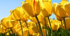 Tulips caused the 1st recorded speculative bubble in history!